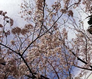桜満開の入学式/鎌倉市長谷の書道教室